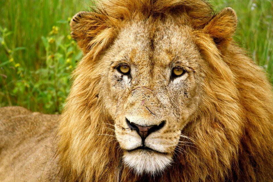 Kruger_Lion